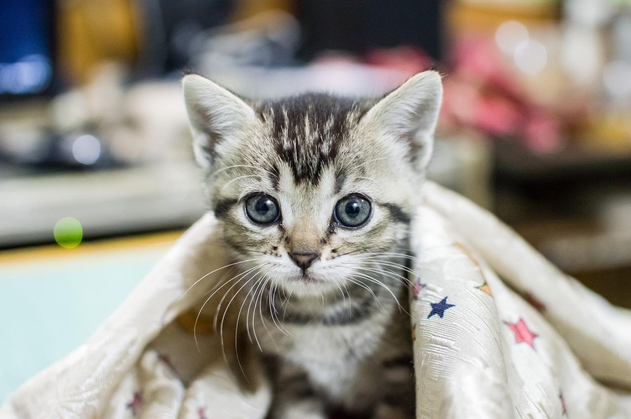 子猫と暮らす環境づくり ねこを迎える準備とポイント!室内飼い編